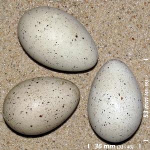 Coot, egg