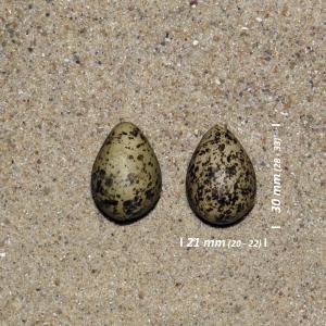 Odinshane æg