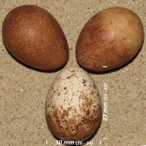 Peregrine falcon, egg