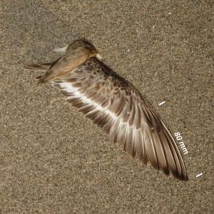 Almindelig Ryle, vinge