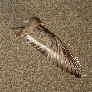 Dunlin, wing