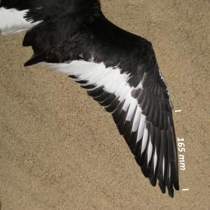 Strandskade, vinge