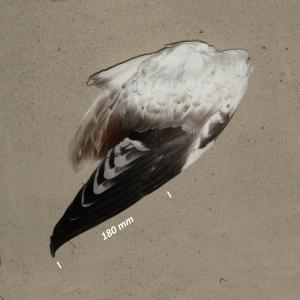 Flügel Brandgans Jungvogel