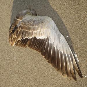 Flügel Graugans