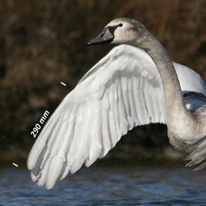 Knobbelzwaan, vleugel