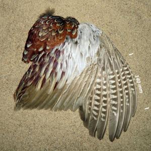 Fazant, vleugel