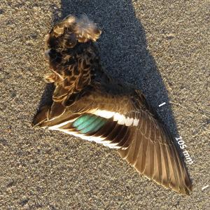 Flügel Krickente