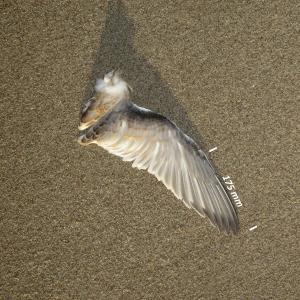 Havterne, vinge ungfugl