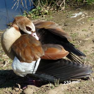 Flügel Nilgans