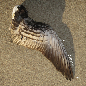 Flügel Nonnengans/Weißwangengans