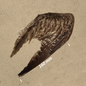 Whimbrel, wing