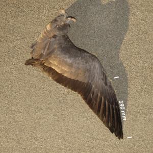 Flügel Ringelgans