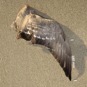 Flügel Ringelgans Jungvogel