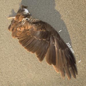 Bruine kiekendief, vleugel vrouwtje