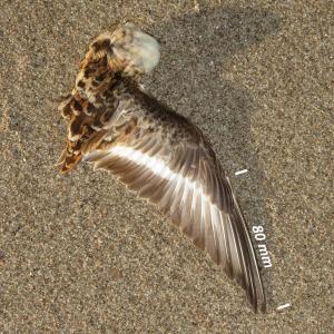Drieteenstrandloper, vleugel