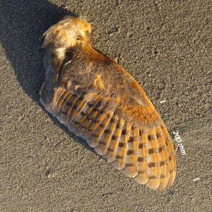 Barn owl, wing