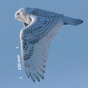 Snowy owl, wing