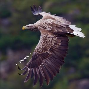 Zeearend, vleugel
