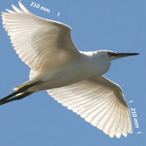 Little egret, wing