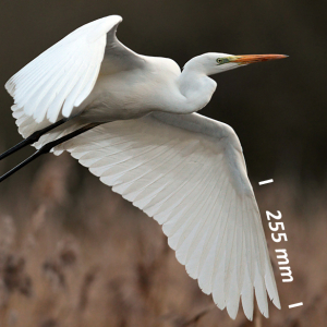 Sølvhejre, vinge