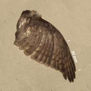 Flügel Sperber