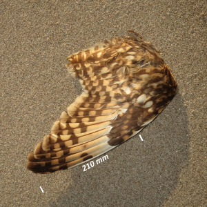 Flügel Sumpfohreule
