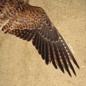 Torenvalk, vleugel