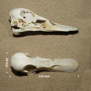 Mallard, skull