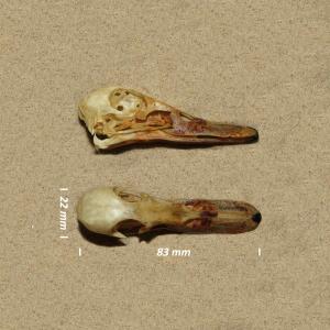 Garganey, skull