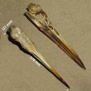 Great white heron, skull
