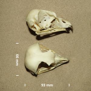Sneeuwuil, schedel
