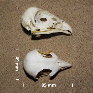 Ruigpootbuizerd, schedel