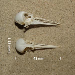 Schädel Sanderling