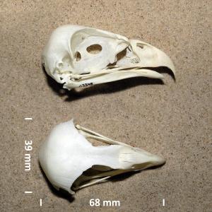 Bruine kiekendief, schedel
