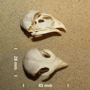 Merlin, skull