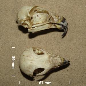 Peregrine falcon, skull