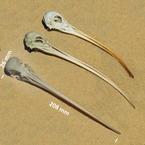 Eurasian curlew, skull