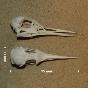 Schädel Brandseeschwalbe