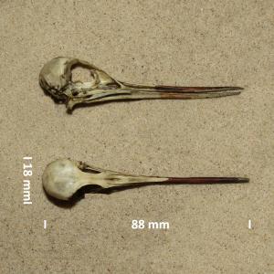 Groenpootruiter, schedel