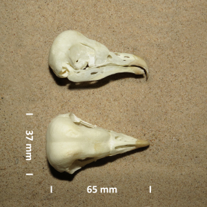 Kerkuil, schedel