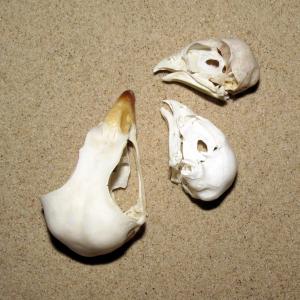Rovfugle kranium