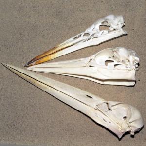 Langnæbbede fugle