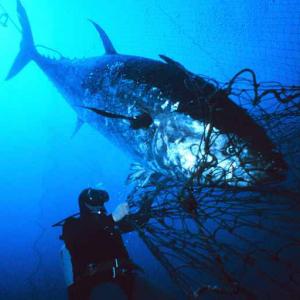 Blåfinnet tunfisk