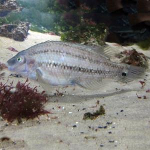 Zweifleck-Lippfisch