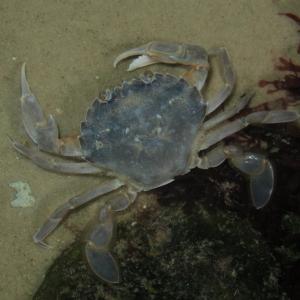 Common swimming crab