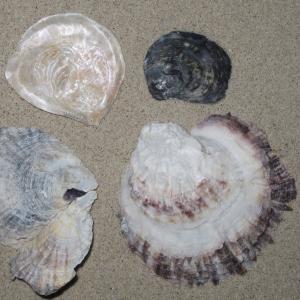 Platte zeeuwse oester