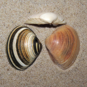 Thick trough shell