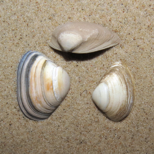 Cut trough shell