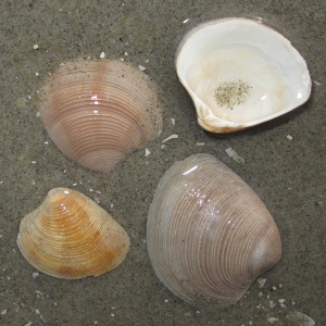 Striped venus shell