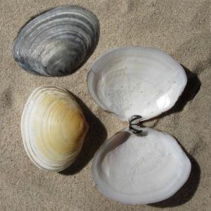 Peppery furrow shell